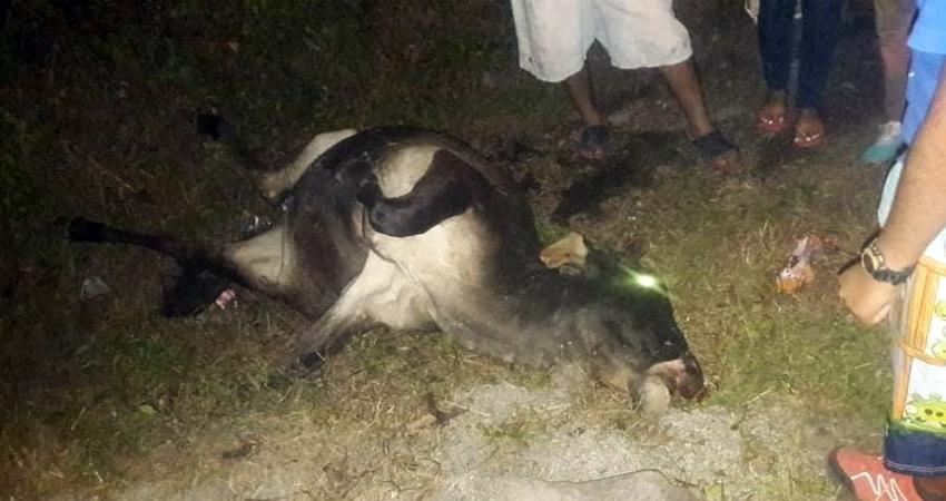 Según el conductor, las tres vacas se atravesaron repentinamente en la vía y no pudo esquivarlas, produciéndose el vuelco y la muerte de los animales.