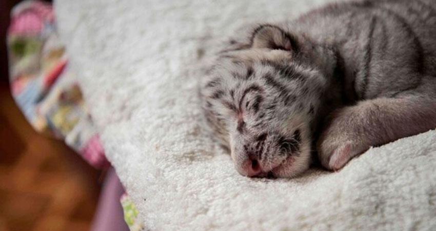 Nieve nació el 29 de diciembre en el Zoológico Nacional. Foto: Cortesía.