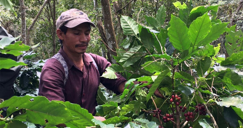 El plan estuvo a cargo del ejército. Durante los cortes, los productores emplearon a más de 65 mil personas y se cosecharon cerca de 480 mil quintales de café.