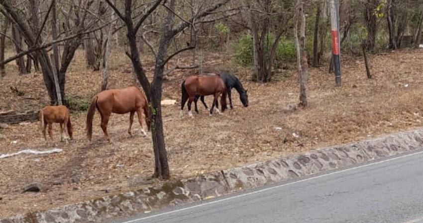 ¿Dónde están los dueños? Esa es la pregunta que se hacen los pobladores ante la presencia de equinos que deambulan por la carretera en Estelí.
