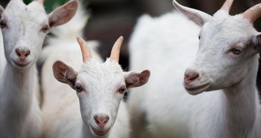 La crianza ovina y caprina ha ido ganando espacio. Foto: Cortesía/Radio ABC Stereo
