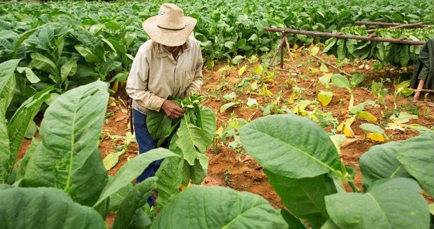 Por el uso racional del agua. Las plantaciones de tabaco y hortalizas suelen consumir grandes cantidades de agua, por esa razón, muchos están adaptando sistemas de riego por goteo que permite ahorrar hasta un 40% del vital líquido.