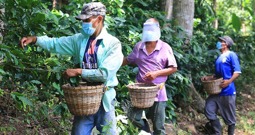 Poca mano de obra en el campo. Algunos productores de café han decidido salir con sus camiones a buscar personal que desea trabajar en la recolección del grano en fincas de Matagalpa y Jinotega.