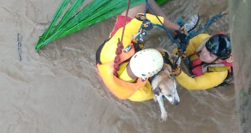 Rescatistas del Benemérito Cuerpo de Bomberos de Honduras, rescatan a perrito atrapado en inundación suscitada en el río Aguán.